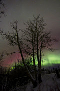Bare Trees Prints - Aurora Borealis With Tree, Twin Lakes Print by Joseph Bradley