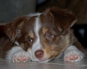 Kasie Morgan - Aussie Pup