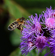 Australian Bee Prints - Australian Bee Arriving At Flower Print by Margaret Saheed