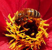 Golds Posters - Australian Bee Enjoying Dahlia Pollen Poster by Margaret Saheed