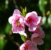Australian Bee Photos - Australian Bee Enjoying Pollen In Springtime by Margaret Saheed