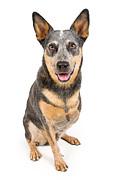 Australian Cattle Dog With Missing Leg Isolated On White Print by Susan Schmitz
