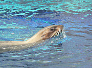 Australian Fur Seal Relaxing Print by Margaret Saheed