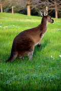 Phill Petrovic - Australian Kangaroo at...