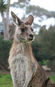 Jacqui Martin - Australian Kangaroo