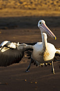 Australian Wildlife Prints - Australian Pelican taking off 1 Print by Michael  Nau