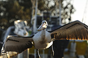 Australian Wildlife Prints - Australian Pelican taking off 3 Print by Michael  Nau