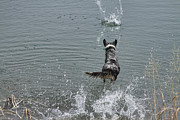 Australian Shepherd Posters - Australian Shepherd Fun at the Lake Chasing the Ball Poster by James Bo Insogna