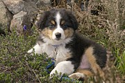 Featured On Fineart America - Australian Shepherd Puppy by Sean Griffin