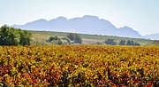Stellenbosch Photo Posters - Autum wine field Poster by Werner Lehmann