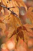Close Focus Nature Scene Photo Posters - Autumn Acer Poster by Anne Gilbert