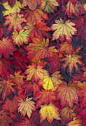 Fiery Digital Art Posters - Autumn Acer Leaves Poster by Tim Gainey