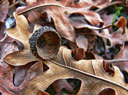 Fallen Leaf Photos - Autumn Acorn and Oak Leaves by Jennie Marie Schell