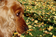 English Cocker Spaniel Posters - Autumn and Cocker Spaniel Poster by Erika Kaisersot