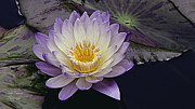 Waterlily Metal Prints - Autumn Aquatic Bloom Metal Print by Julie Palencia