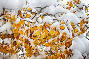 James BO  Insogna - Autumn Aspen Leaves in The Snow