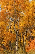 Big Horn  Photography - Autumn Aspens