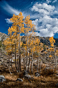 Yellow Photos - Autumn Aspens by Cat Connor