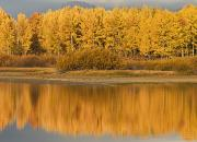 Reflections Of Trees In River Metal Prints - Autumn Aspens Reflected In Snake River Metal Print by David Ponton