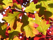 Turning Leaves Prints - Autumn at its Best Print by Cheryl Hardt