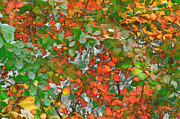 Kathie Mccurdy Prints - Autumn Barberry in Transition Print by Kathie McCurdy