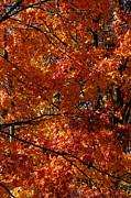 Linda Knorr Shafer - Autumn Blaze