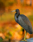 Cay Photos - Autumn Blue Heron by Sabrina L Ryan