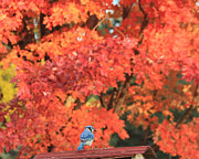 Bluejay Metal Prints - Autumn Bluejay Metal Print by Heidi Hermes
