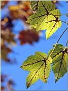 Faa Featured Metal Prints - Autumn Bokeh  Metal Print by Chris Anderson