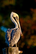 Joan McCool - Autumn Brown Pelican