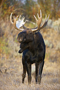 Bull Moose Posters - Autumn Bull Moose IIII Poster by Gary Langley