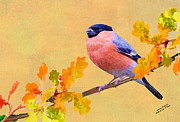 Iain S Byrne - Autumn Bullfinch