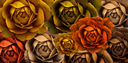 Brown And Green Posters - Autumn Cabbage Rose Flowers Poster by Jennie Marie Schell