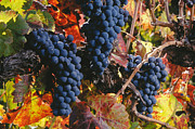 Clusters Of Grapes Prints - Autumn Cabernet Clusters  Print by Craig Lovell