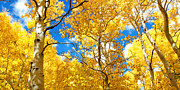 Autumn Leaf Photos - Autumn Canopy of Brilliant Yellow Aspen Tree Leafs in Fall in th by ELITE IMAGE photography By Chad McDermott