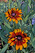 Burnt Digital Art - Autumn Colored Daisies by Kay Novy