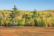 Blueberry Barrens Posters - Autumn Colors In Maine Blueberry Field And Forest Poster by Keith Webber Jr