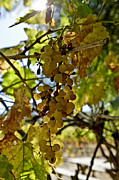 Grape Leaf Prints - Autumn Colors In Wine Country Print by Patricia Sanders