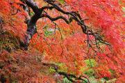 Colors Of Autumn Prints - Autumn Colours At The Japanese Gardens Print by Craig Tuttle