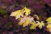 Red Maple Leaves Posters - Autumn Contrast Poster by Mike  Dawson