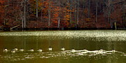 Canadian Geese Art - Autumn Cove by Karen Wiles