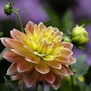 Large Format Prints - Autumn Dahlia Print by Julie Palencia