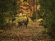 Whitetails Framed Prints - Autumn Doe and Fawn Framed Print by Thomas Young