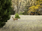 Whitetail Deer Framed Prints - Autumn Doe Framed Print by Thomas Young