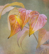 Dogwood Photos - Autumn Dogwood by Angie Vogel