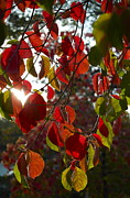 Turning Leaves Posters - Autumn Dogwood in Evening Light Poster by Michele Myers