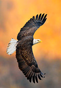 Eagle In Flight Framed Prints - Autumn Eagle Framed Print by William Jobes
