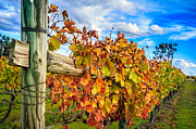 Grapevines Photos - Autumn Falls at the Winery by Peta Thames