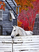 Sheds Posters - Autumn Farm With White Horse Poster by Susan Savad