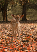 Fawn Photos - Autumn Fawn by Robin-lee Vieira